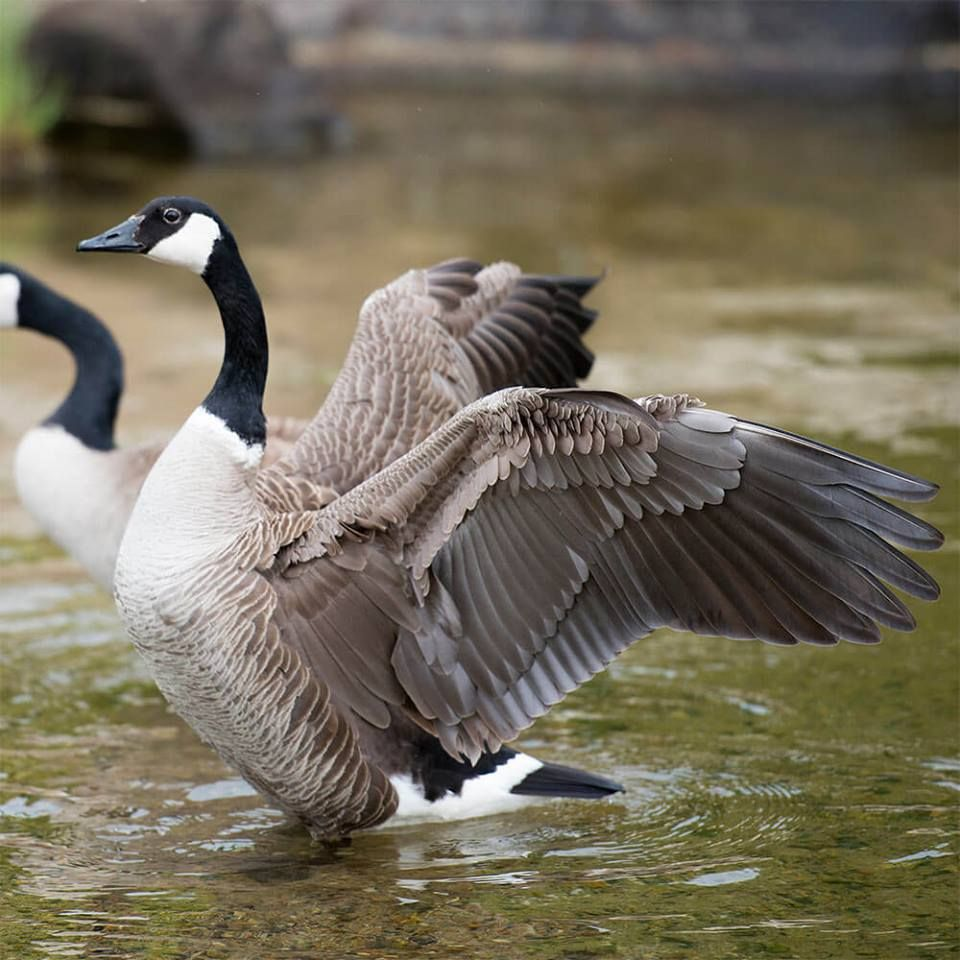 Pin by Rachel Summers on Birds Animals, Birds, Canada goose