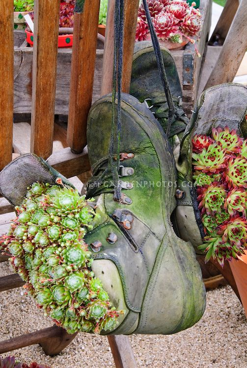 Sempervivum Succulent Plants In Old Shoes Planter Pot Containers For A Funny Quirkly Recycling