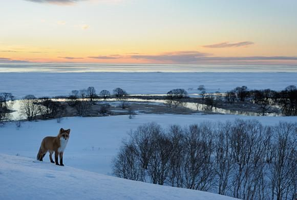 Fox at dawn ~ Vulpes vulpes ~ Foxes are the most active just before dawn  ~ by Igor Shpilenok