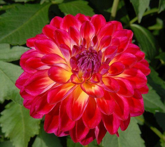 Dahlia Flower Brittany Rey Gmo Free By Gorgeousseedsgmofree 1 59 Dahlia Flower Bonsai Flower Flowers Perennials