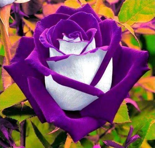 5 graines rosier bicolore mauve et blanc fleurs hybrid. Black Bedroom Furniture Sets. Home Design Ideas