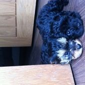 Yorkshire Terrier X Toy Poodle For Sale In Nottinghamshire East