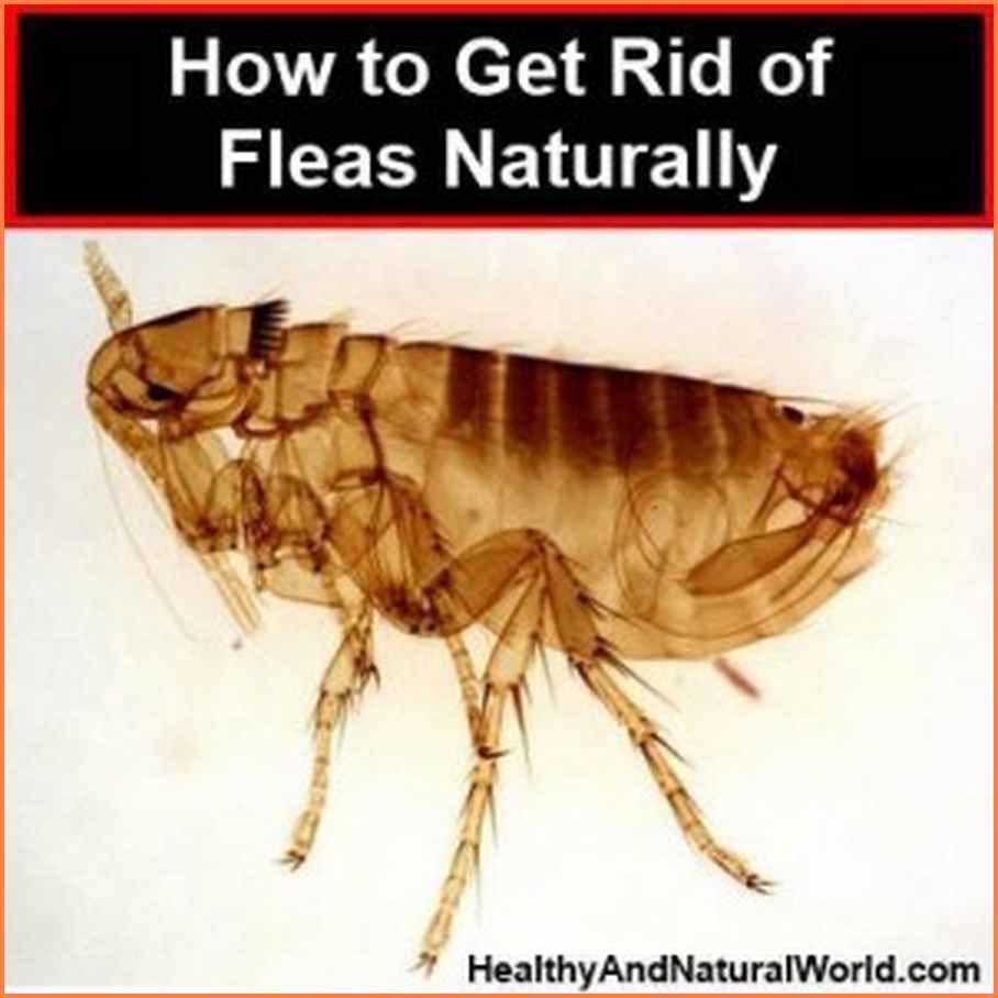 Kill Fleas In Carpet Naturally Floor Matttroy