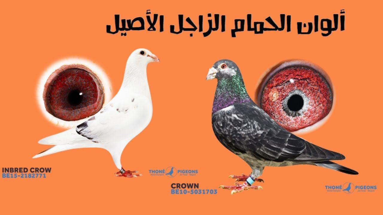 الوان الحمام الزاجل الأصيل والفرق بينه وبين الحمام الجمعيات والرميات Crow Pigeon Inbred