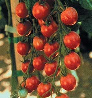 Sweet Million Fnt An Improved Version Of Sweet 100 This Variety Offers The Same Wonderful Flavor A Growing Vegetables At Home Growing Vegetables Tomato Seeds