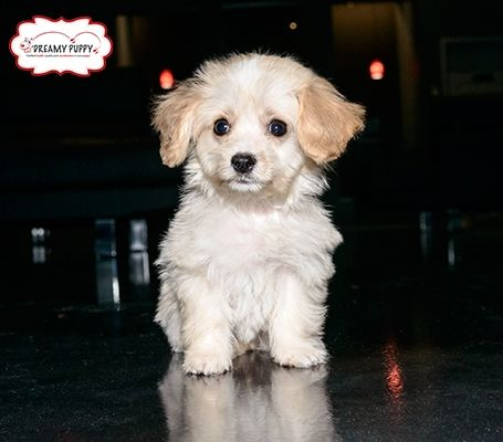 Front View A Fuzzy Small White With Tan And Black Maltese Poodle Mix Puppy Is Standing Outside In Grass Poodle Mix Poodle Mix Puppies Mixed Breed Puppies