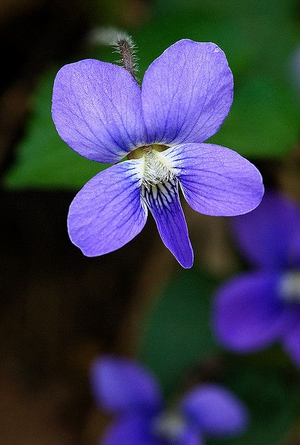 ✯ Wild Violet - growing wild in the lawn. We would pick them and make small bouquets and put them in tiny vases.