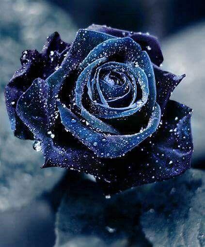 Blu Rose Flowers Rosa Blu Fiori Blu E Giardino Di Fiori