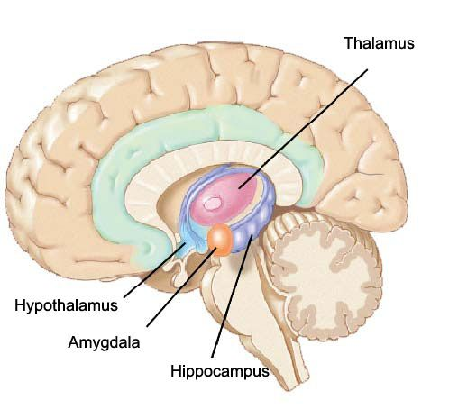 Image result for brain diagram | brain | Pinterest