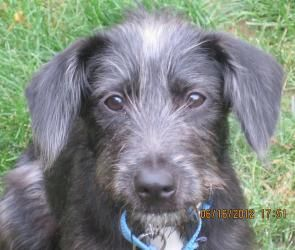 Adopt Little Dude On Petfinder Dogs Schnauzer Mix Terrier Dogs