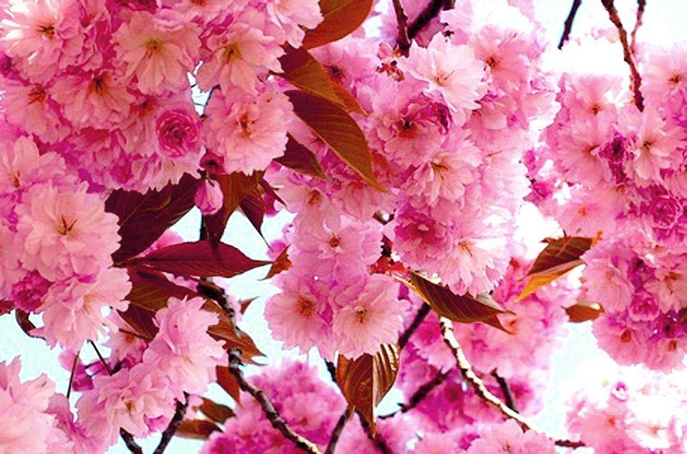 Cherry Blossom Oil Cherry Blossom Extract Cherry Blossom Etsy Bamboo Oil Calendula Flower Cherry Blossom