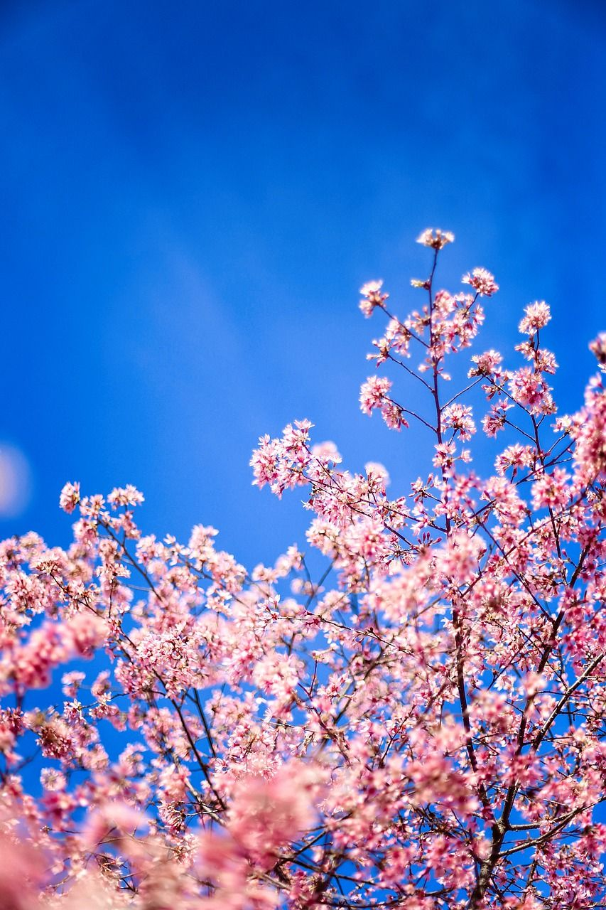 Free Image On Pixabay Cherry Blossom Spring Pink In 2021 Flower Background Wallpaper Cherry Blossom Tree Cherry Blossom