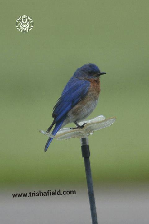 Eastern Bluebird (Sialia sialis) - Photo by Trisha - Blue Birds - http://www.minnesotaseasons.com/Birds/Eastern_Bluebird.html