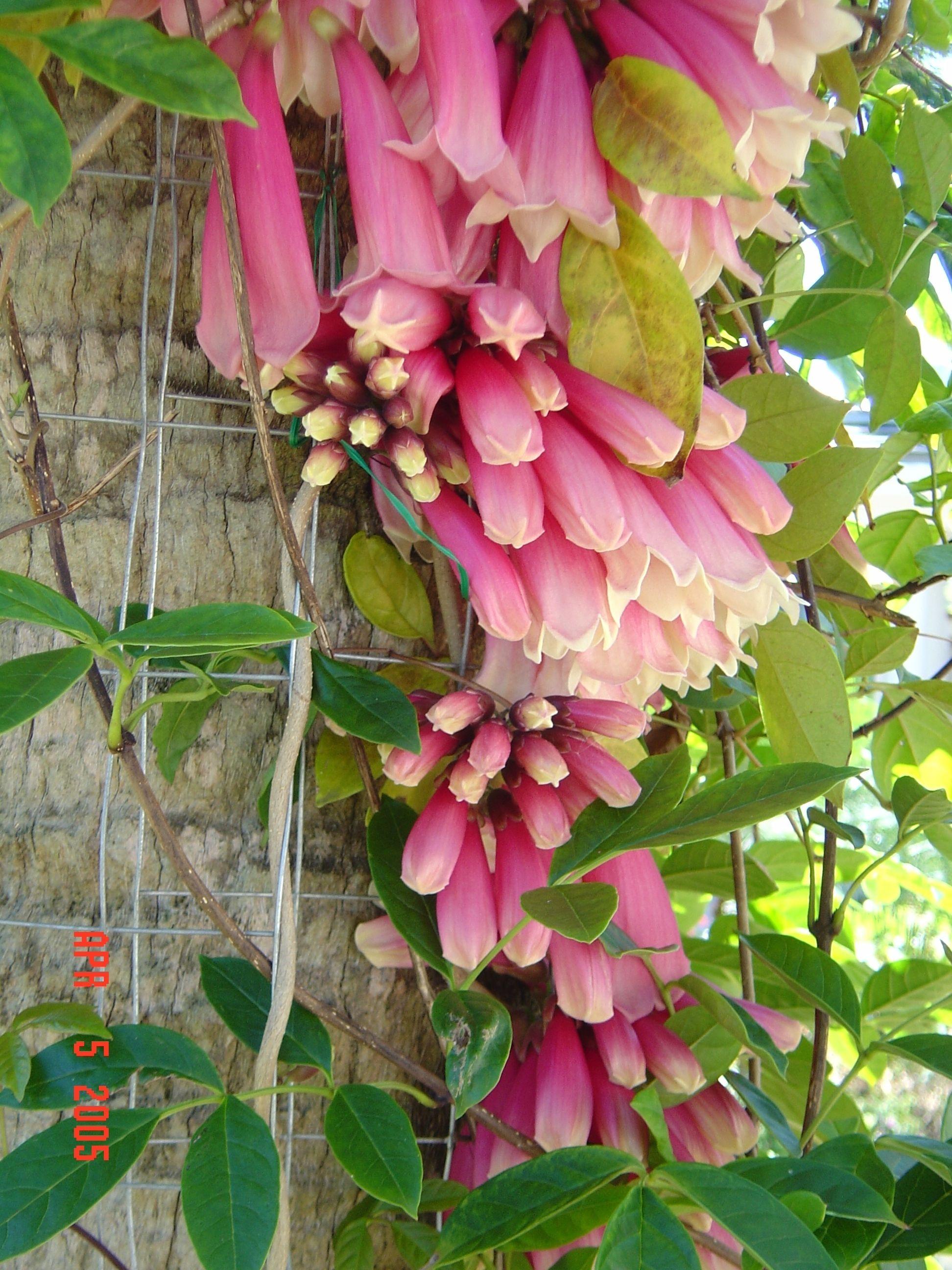 Pink petticoat vine riverland nursery beautiful vines pinterest pink petticoat vine mightylinksfo