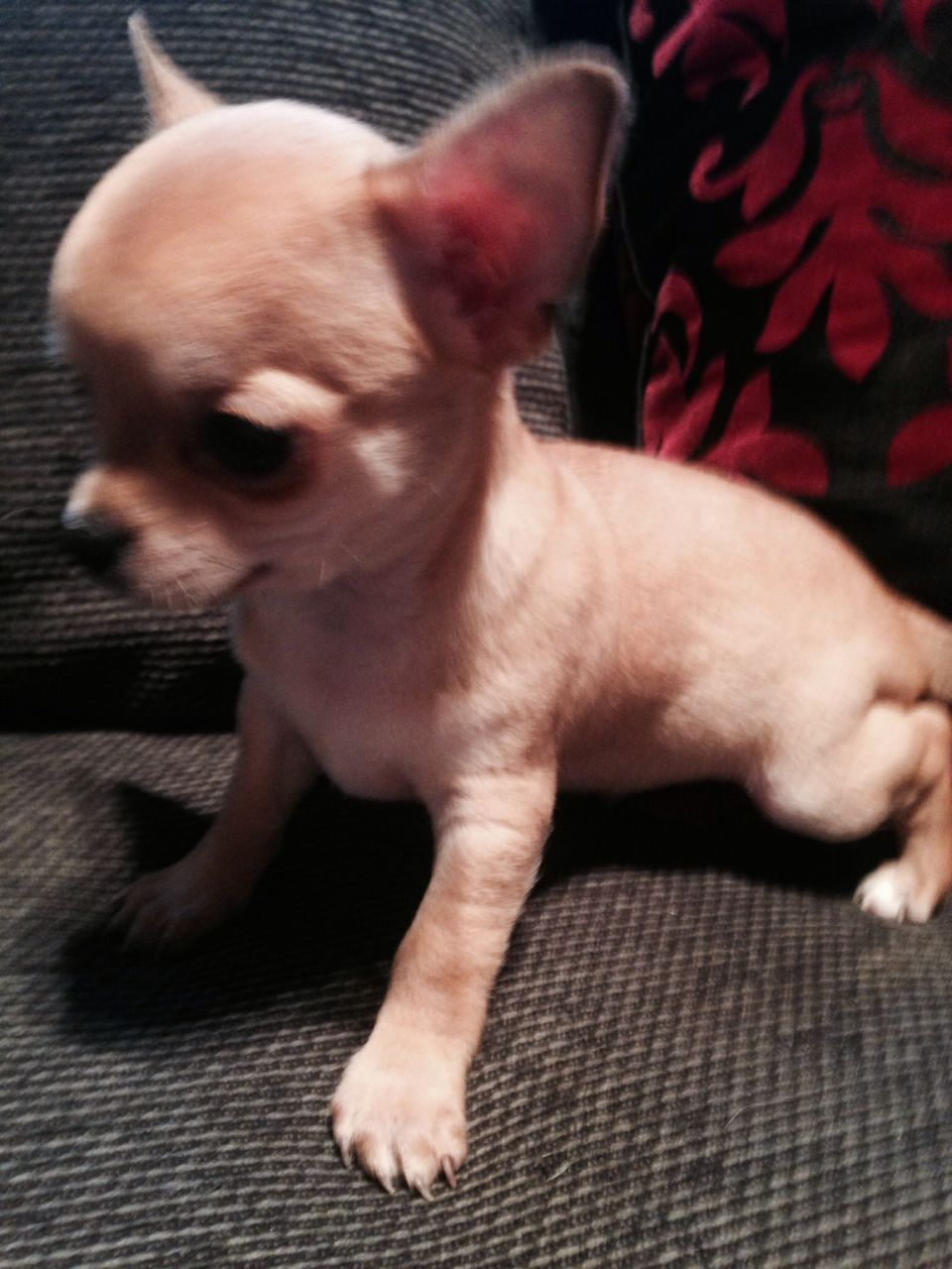 Gorgeous Male Chihuahua Pup Ready Now Chihuahua Puppies