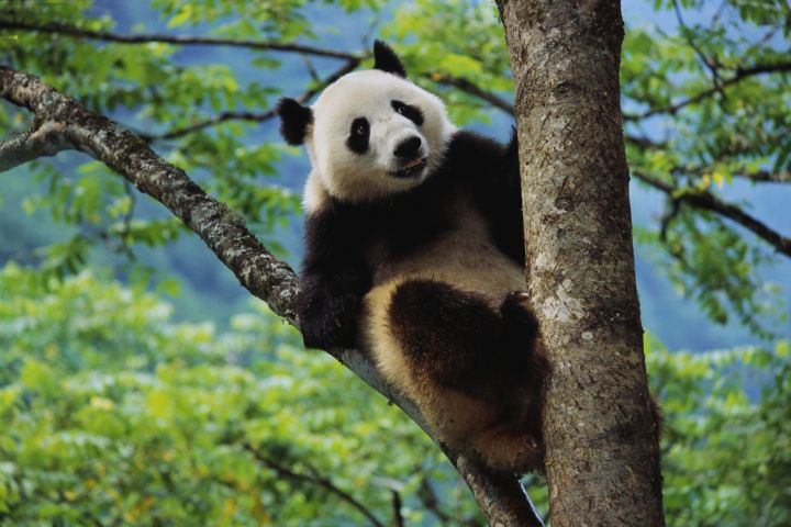 IChina's iconic giant panda is struggling to survive; while its numbers appear to be higher than once suspected, there are still believed to be no more than 3,000 left in the wild. Despite strenuous efforts, they also don't breed very well in captivity; they are also susceptible to poaching in the wild. The panda has been the symbol of the World Wildlife Fund since 1961.