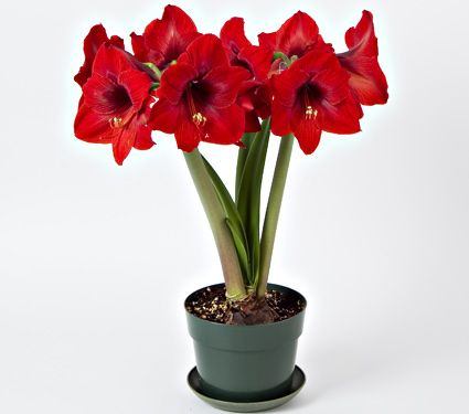 Amaryllis floris hekker one bulb in a green eco pot for Pot amaryllis