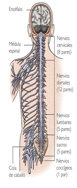 NERVIOS PERIFERICOS 31 | Anatomy | Pinterest | Nervios, Nervio ...