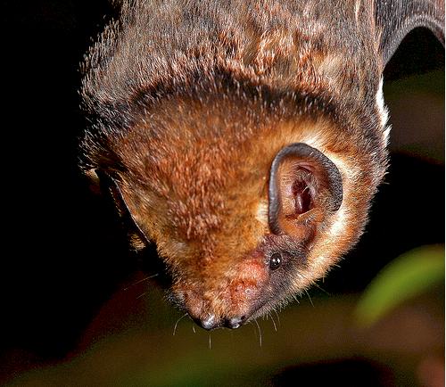 hawaiian hoary bat pictures | Hawaiian Hoary Bat (courtesy Hawaii State Senate)
