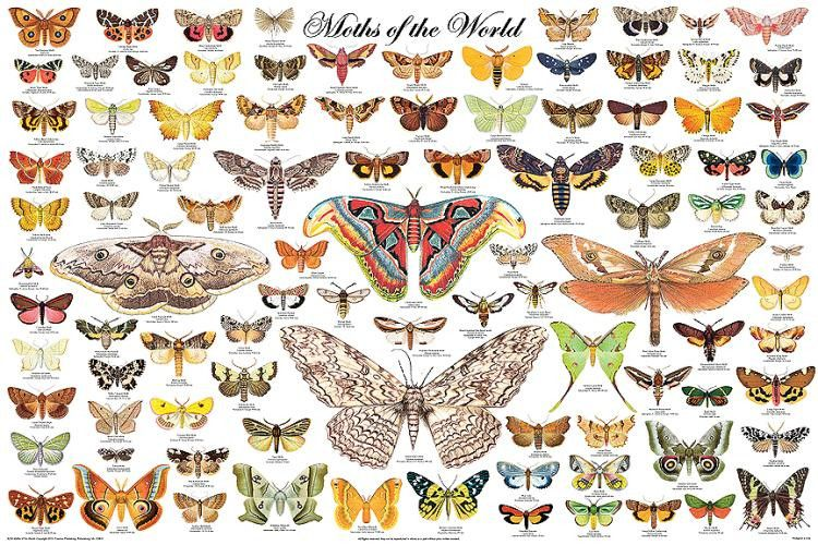 Laminated Moths Of The World Poster 24x36 Lepidoptera By Feenixx Publishing A Beautiful Poster Our Beautif Mit Bildern Posterdrucke Schone Schmetterlinge Schmetterling
