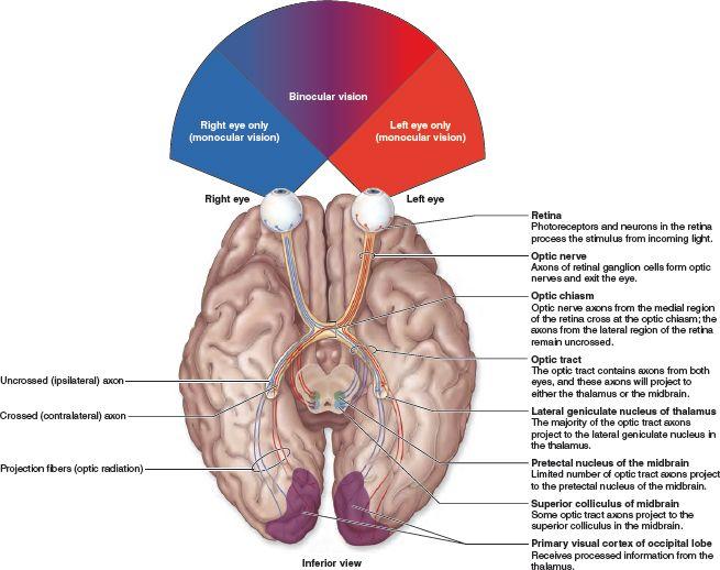 Visual Pathways Each Optic Nerve Conducts Visual Stimuli