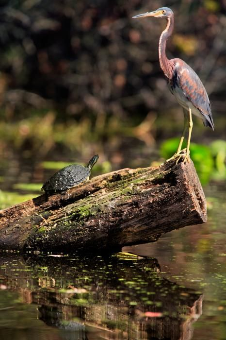 An immature Tri-colored Heron stands on a log along with a Peninsula Cooter Turtle along the bank of the Dora Canal, Tavares, Florida.