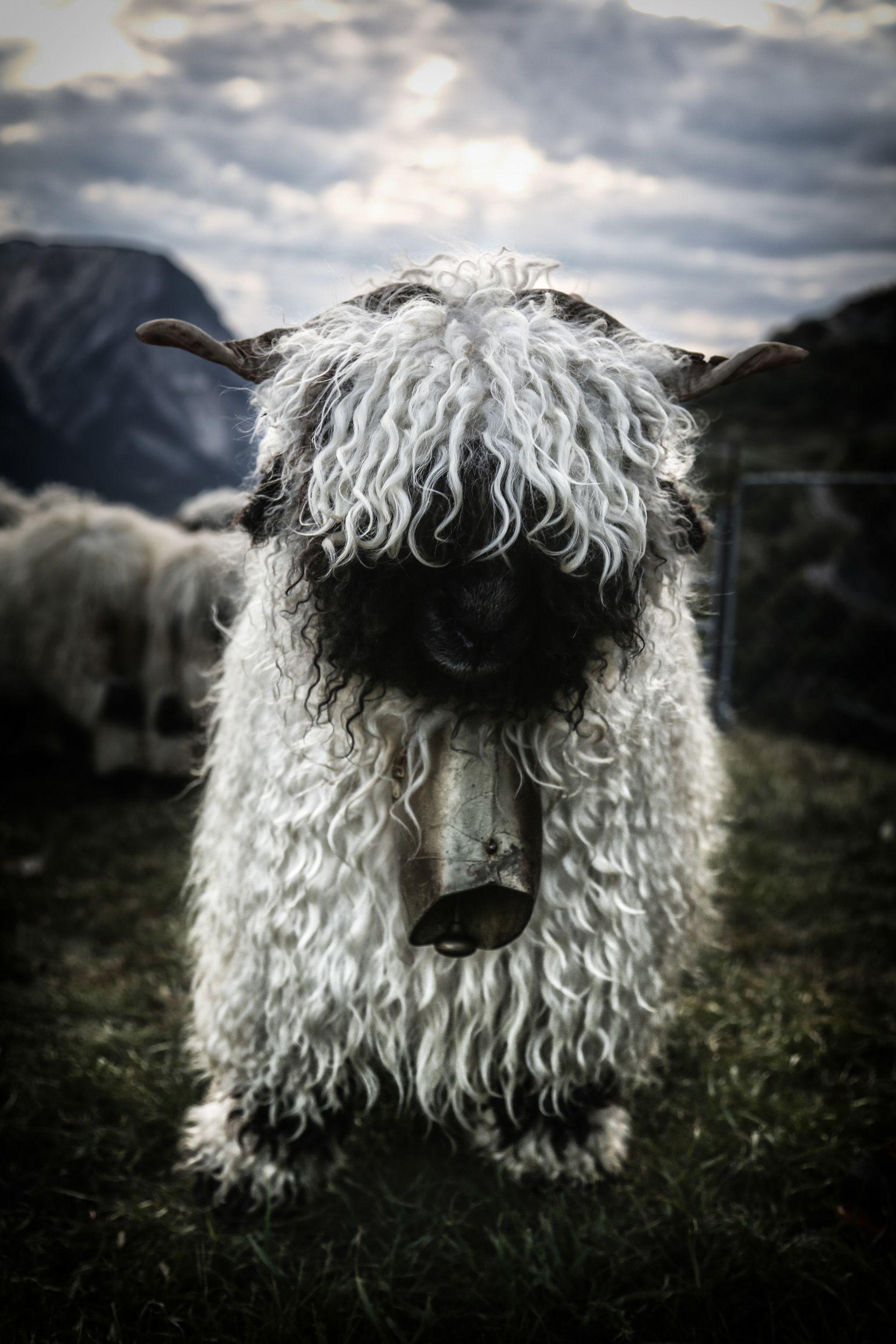 Walliser Schwarznasenschaf Animals 3 Schafe Tiere Steiff Tiere