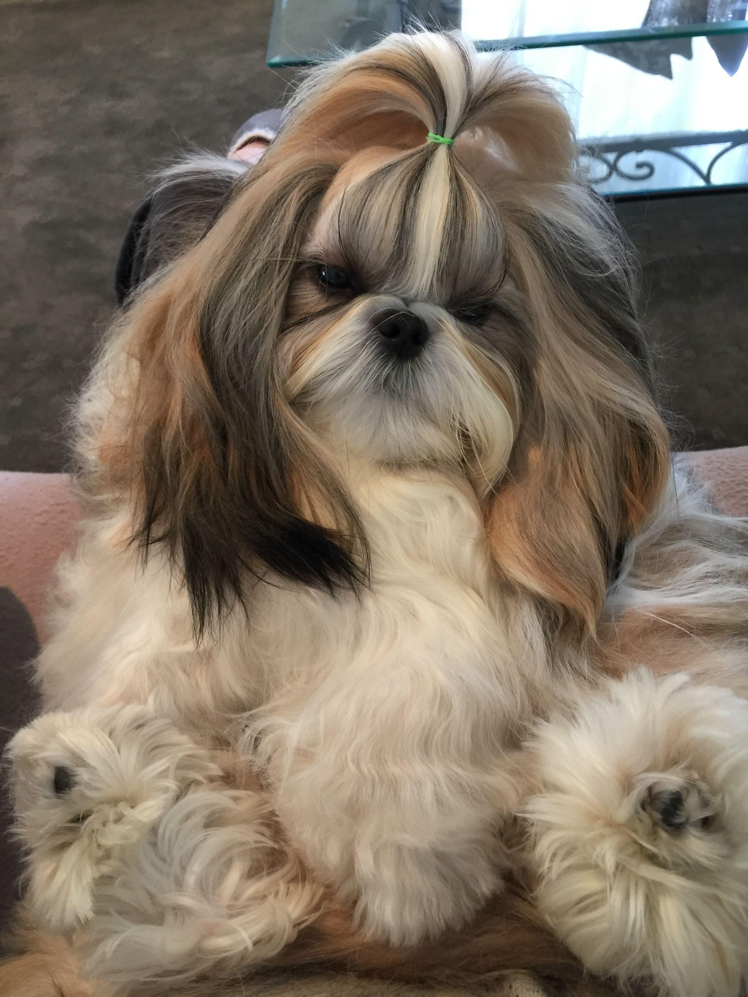 Beautiful Black White Female Shih Tzu Puppy Girl Shihtzu Shih