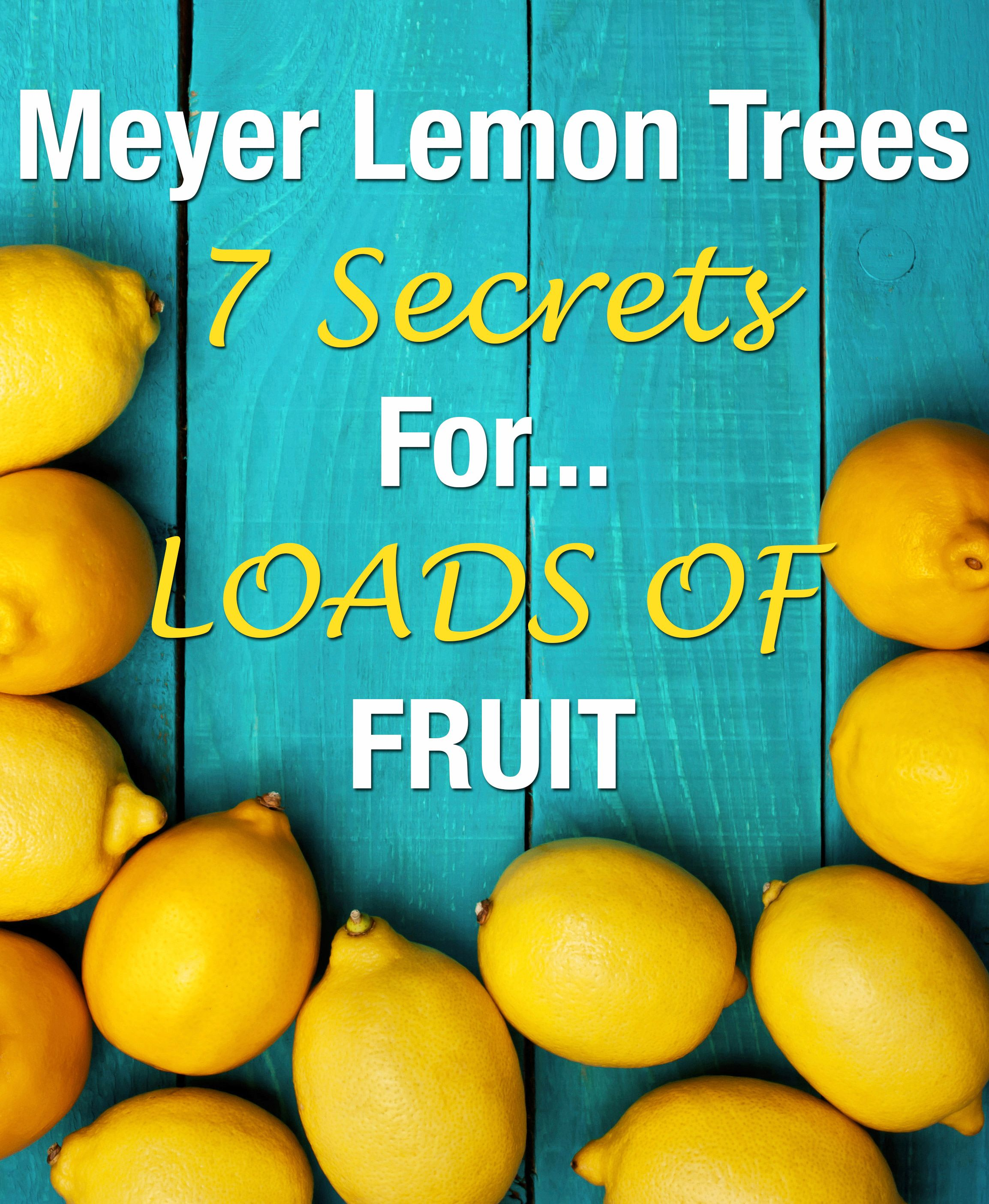Meyer Lemon Trees 7 Secrets For Loads Of Fruit Meyer Lemon Tree Lemon Tree Lemon Tree Potted