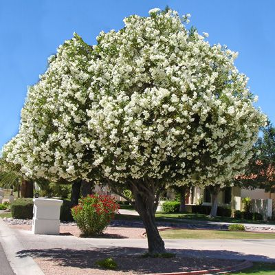 Oleander tree gardening plants cactus flowers pinterest pictures evergreen and trees - Fall landscaping ideas a mosaic of colors shapes and scents ...