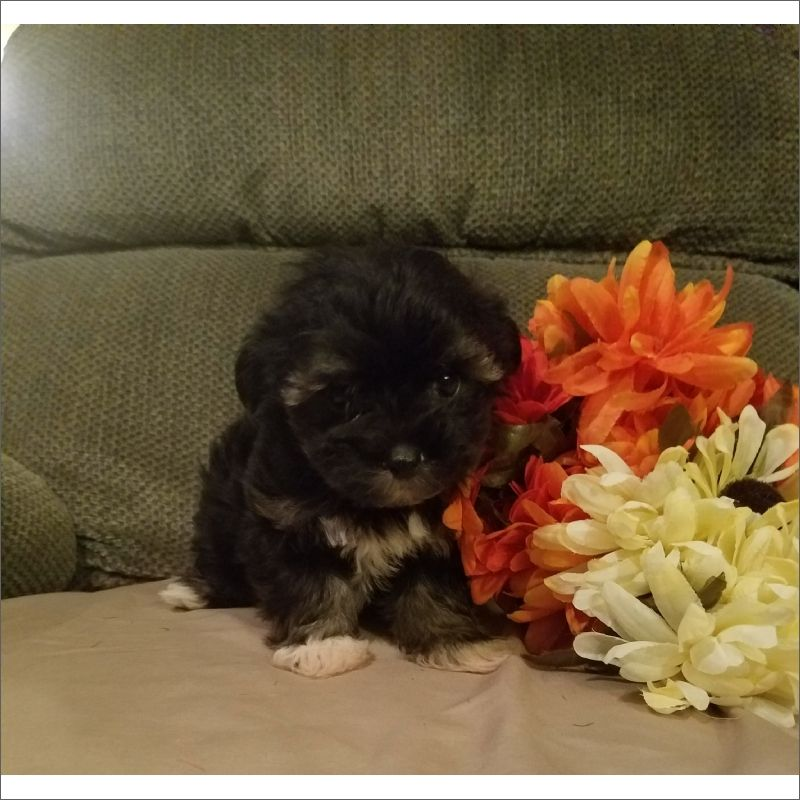 Maltese Poodle Toy Mix Puppy For Sale In Tucson Az Adn 46285