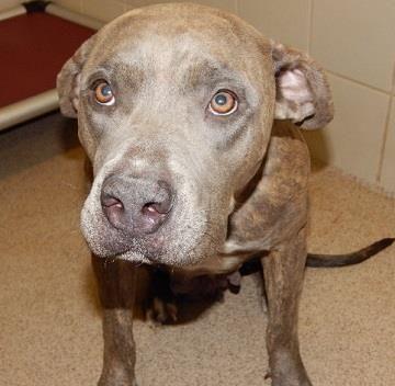 Petango Com Meet 30527750 A 2 Years Terrier Pit Bull Mix