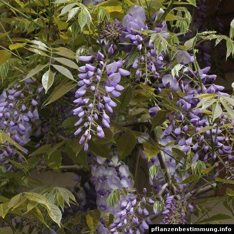 Blau blühende Pflanzen und Blumen bestimmen | Illustration ...
