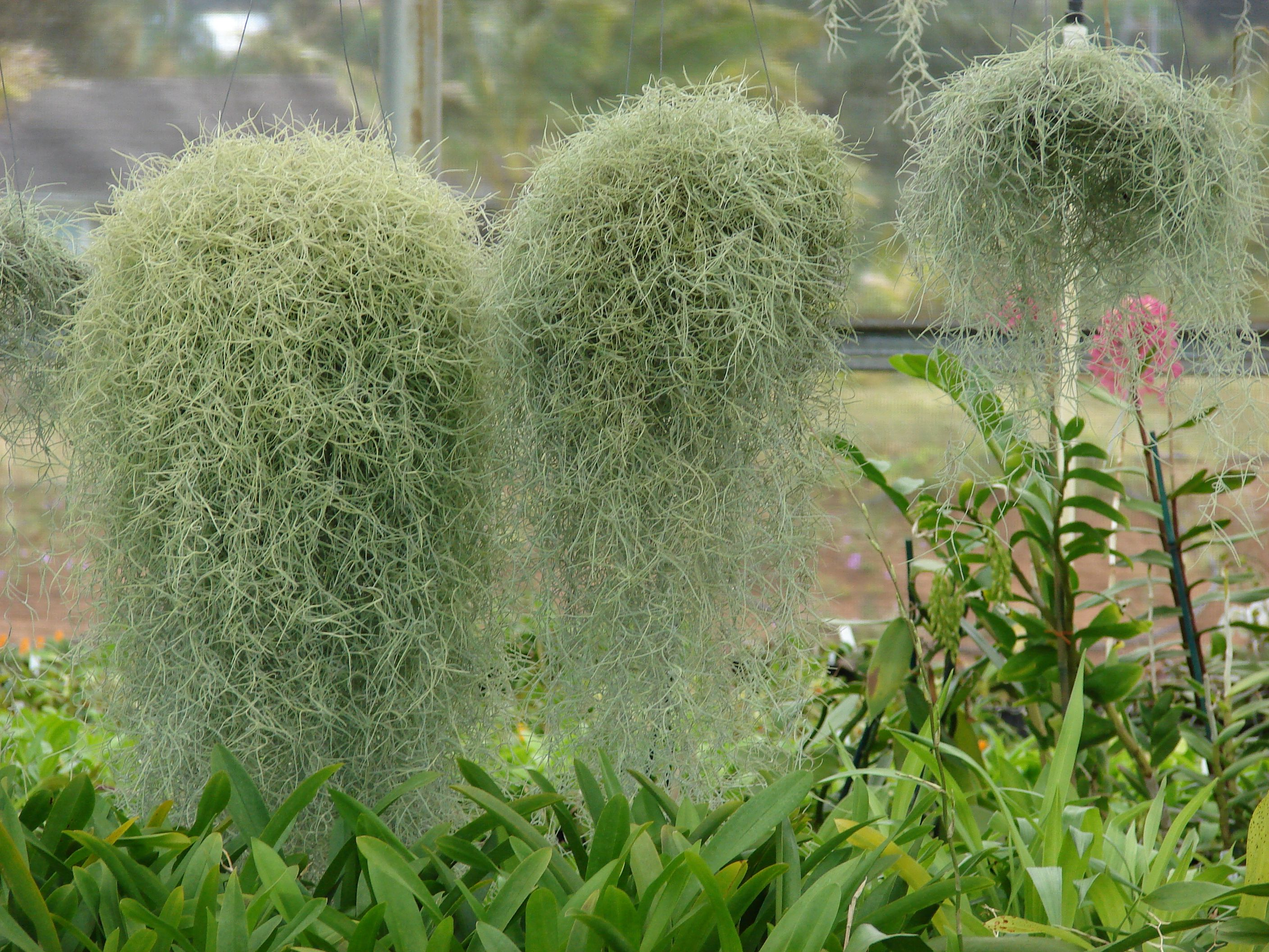 pele s hair or spanish moss for use in lei hawaii animals
