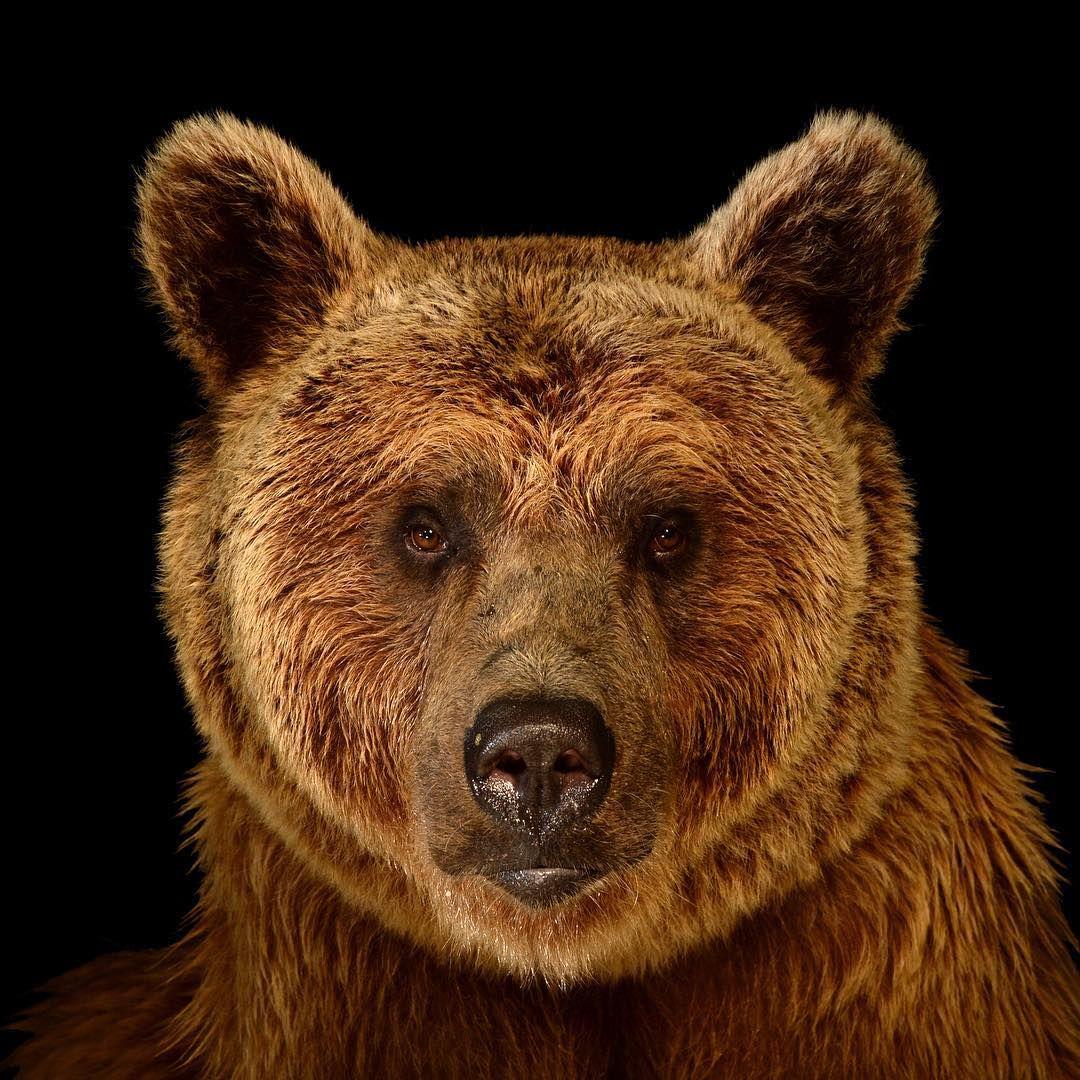 Instagram joelsartore offers the worlds species of all sizes a instagram joelsartore offers the worlds species of all sizes a moment in bear wallpapergrizzly voltagebd Images
