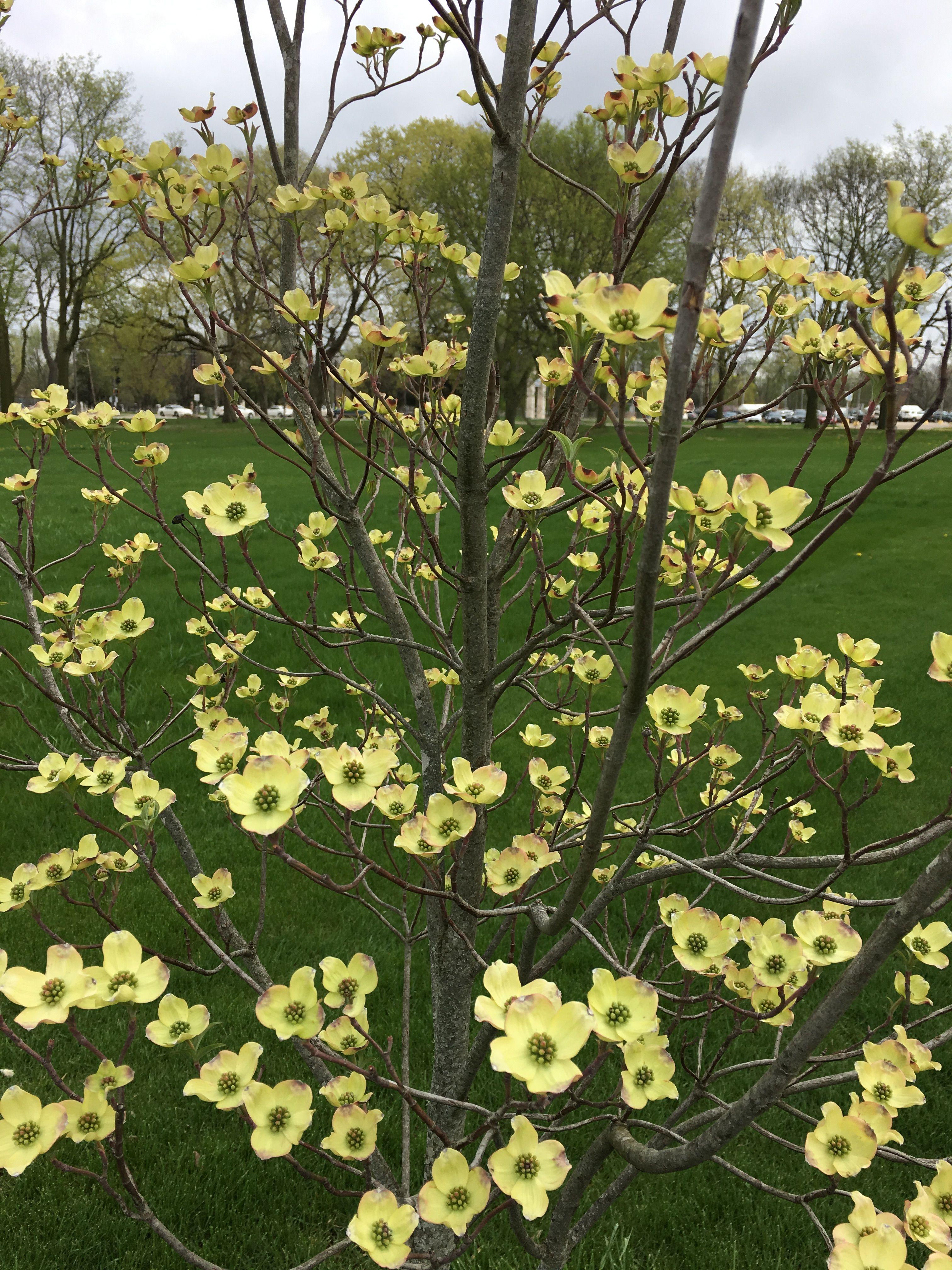 White Flowering Dogwood. Pale yellow flowers turn to white