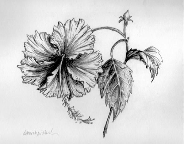 Detailed pencil drawing of hibiscus flower original art prints and cards available for purchase