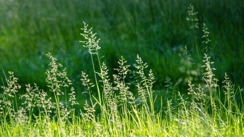13 Pemandangan Rumput Indah Macam Macam Rumput Liar Hias Dilengkapi Gambar Rumput Hd Download 11 Fakta Fulan Fehan Pada Di 2020 Rumput Pemandangan Tanaman Rambat