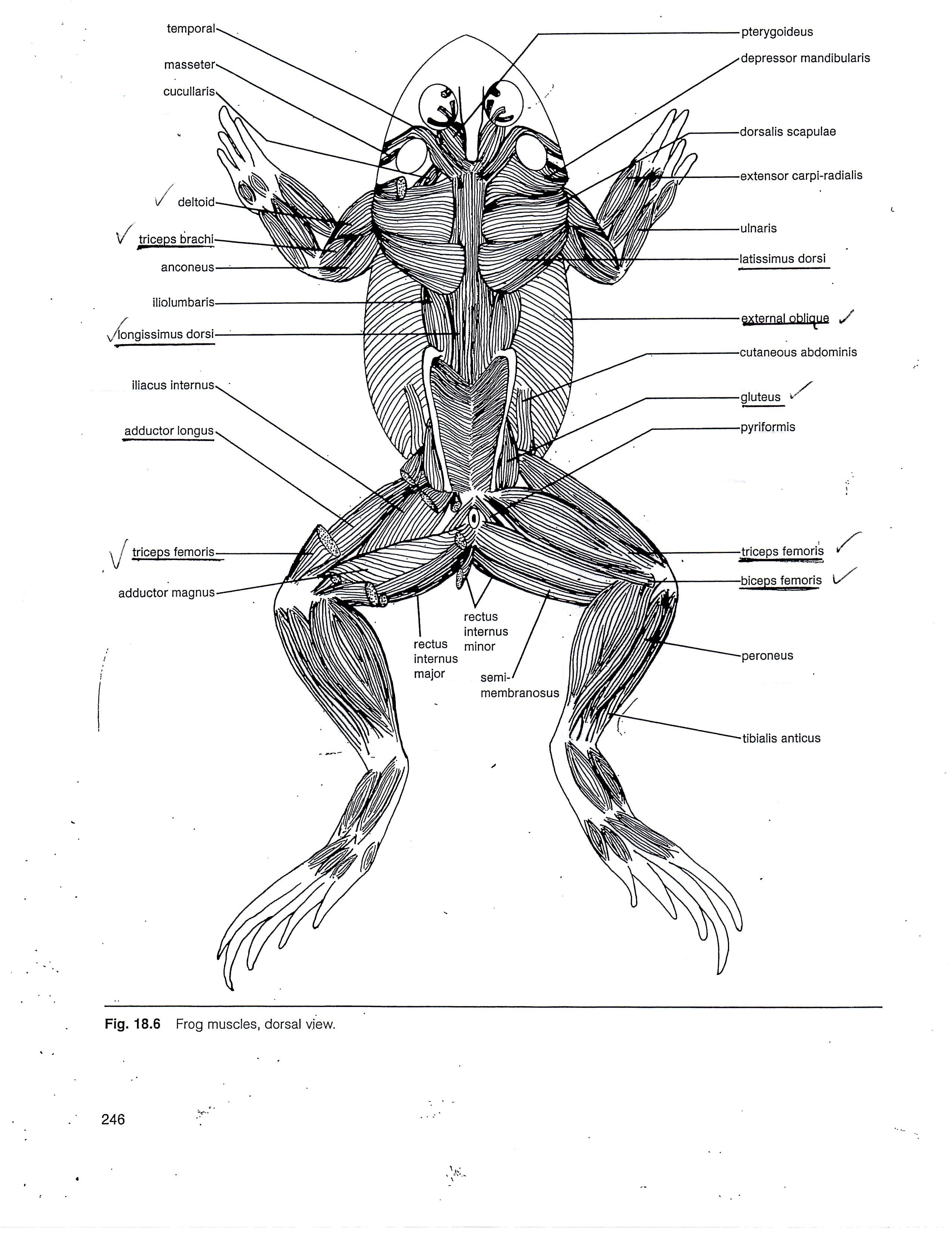 frog muscle anatomy muscular system of the frog human anatomy diagram [ 2550 x 3300 Pixel ]