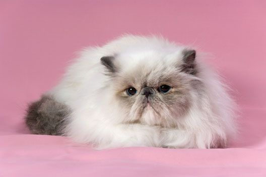 Kot Perski Rasy Kotów Pinterest