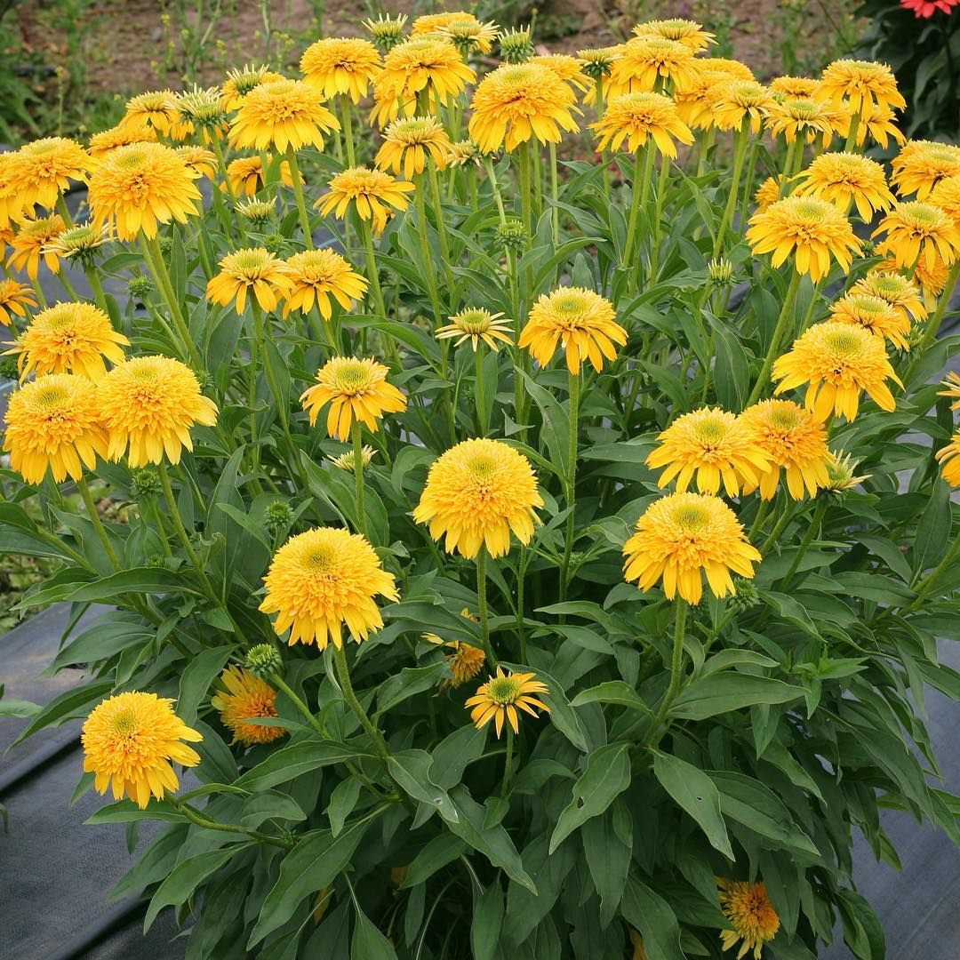 Our Best Double Yellow Ever Echinacea Cara Mia Yellow Is Incredibly Vigorous Packing An Incredible Crown And Bloom Co Echinacea Plant Breeding Cool Plants