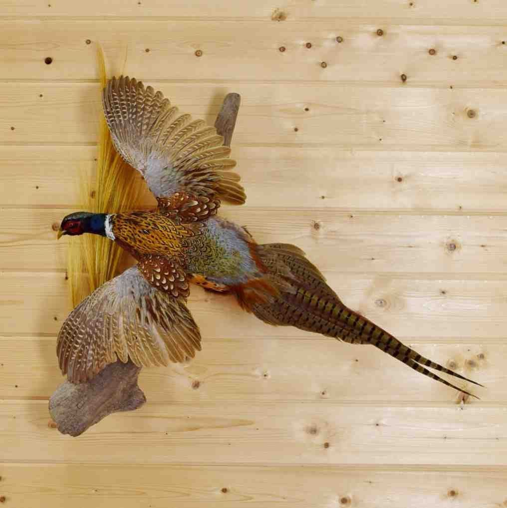 Flying Ring Necked Pheasant Taxidermy Mount Sw4259 Taxidermy Mounts Bird Taxidermy Taxidermy For Sale