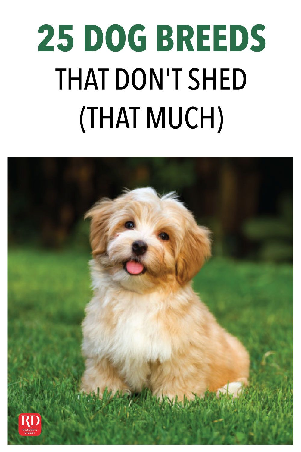 25 Dog Breeds That Don T Shed That Much Dog Breeds That Dont