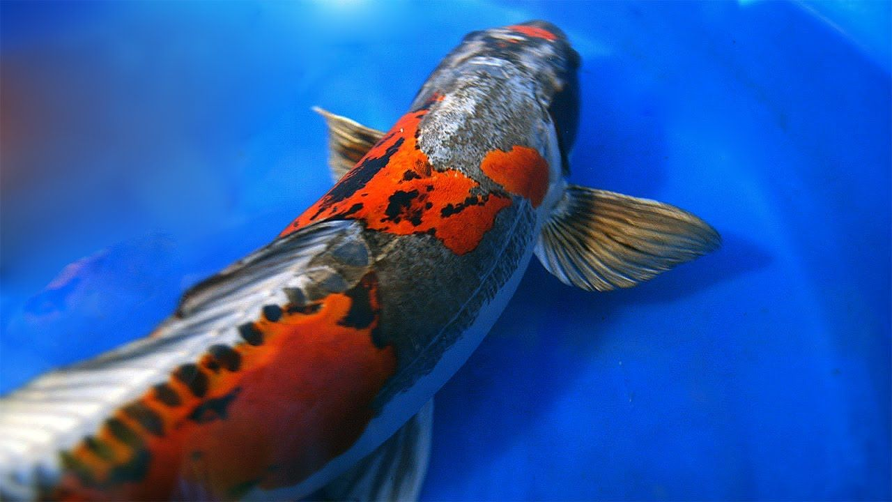 Fish in tank swimming at top - Ancient Japanese Lore Describes Koi Fish Swimming Up Amassive Waterfall Called The Dragon Gate If They Reach The Top Of The Waterfall They Transforms