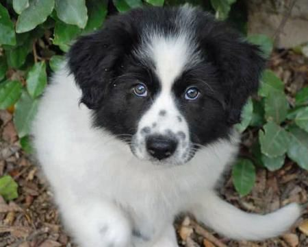 You Will Be Mine One Day 3 Great Pyrenees Dogs Great Pyrenees Puppy