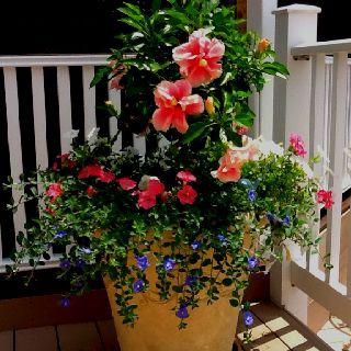 Hibiscus And Petunia Pot