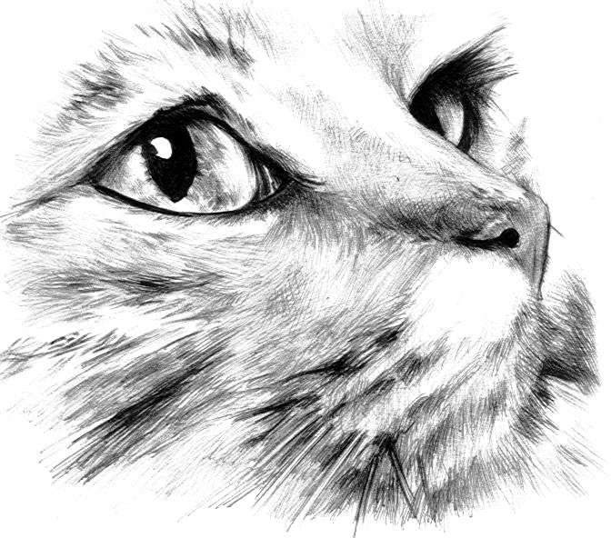 sketch of feline face cat art 2d pinterest cat sketch