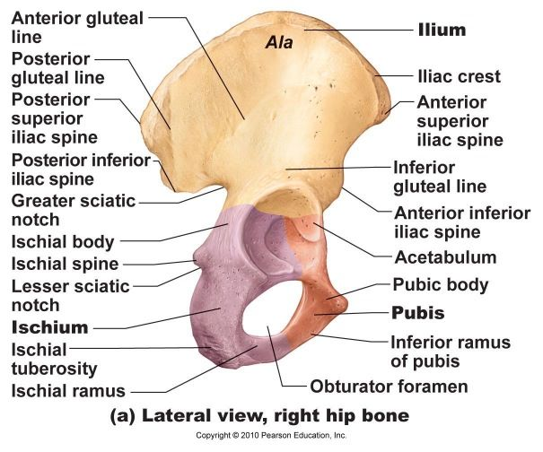 the ilium is the largest of the three parts of the os coxa ... diagram of left hip bone