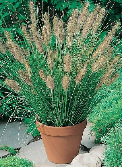 Ornamental Grasses Australia There is also pennisetum alopecuroides or fountain grass which there is also pennisetum alopecuroides or fountain grass which grows around 35 to 4 feet workwithnaturefo