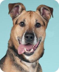 1 7 15 Sl Chicago Il German Shepherd Dog Mix Meet Wilson A Dog For Adoption Http Www Adoptapet Com Pet 1 Shepherd Dog Mix German Shepherd Dogs Dogs